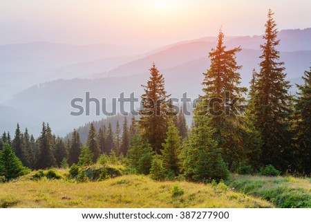 Pine tree forest  #387277900