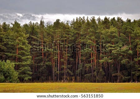 Pine tree forest #563151850