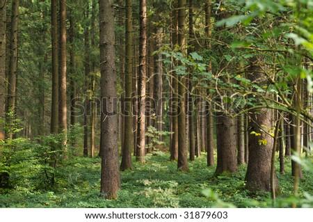 Pine tree forest easy lighten
