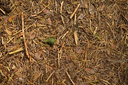Pine tree forest ground with dry, fallen needles, sticks and cones.