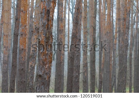 pine tree forest in a blue mist