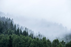 pine tree forest on mountain with mist