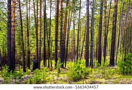 Pine tree forest scene. Forest pine trees