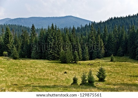 pine tree forrest in the...