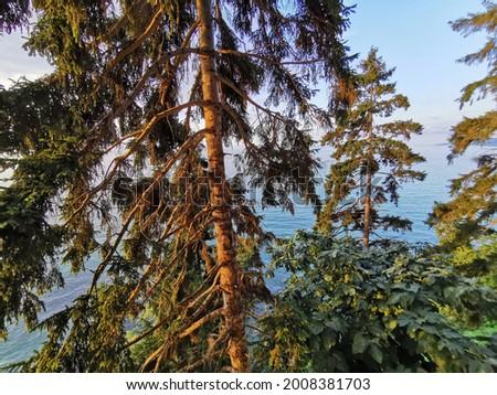 Pine tree growing by the sea in Çamburnu in Trabzon Sürmene Stok fotoğraf ©