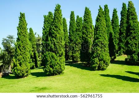 Pine Tree In Garden, Landscape Design, Landscape Design For Background,  Design Background #