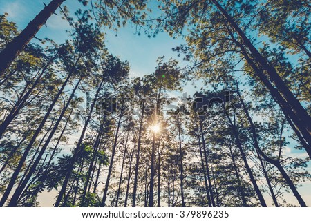 Shutterstock Pine tree in natural forest and sunlight with vintage tone.