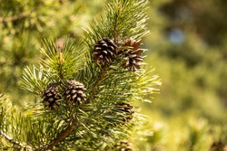 Pine tree in spring, detail of a branch with pines. Fresh green color needles, peaceful, relaxing.