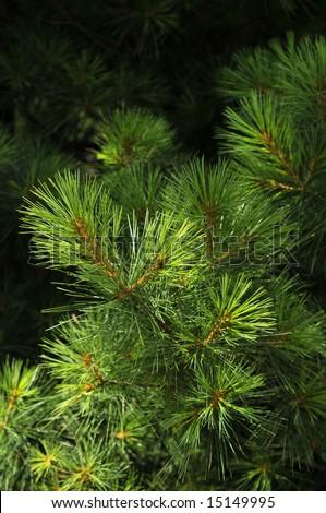 Pine tree in the sun