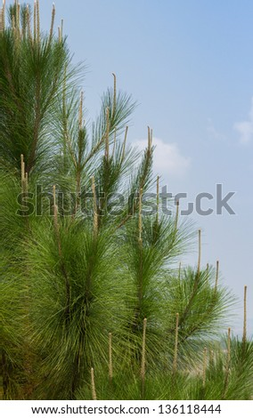Pine tree is popular in Christmas day.