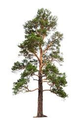 Pine tree isolated on white background.
