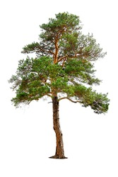 pine tree isolated on white green branch trunk background branchy