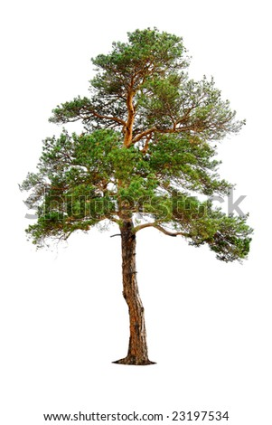 pine tree isolated on white, pine tree isolated, pine tree, green pine tree, pine tree on white, pine tree branch, pine tree trunk, pine tree on white background, branchy pine tree, pine, tree