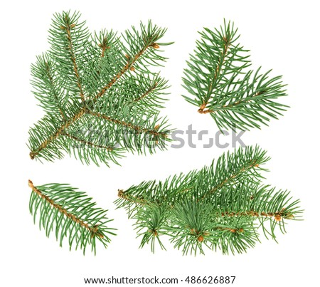Pine tree isolated on white. without shadow #486626887