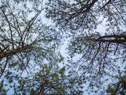 Pine tree lookup in the sky