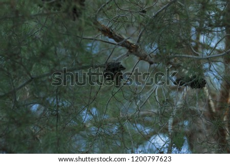 pine tree nut #1200797623