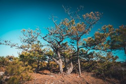 Pine Tree on a clear Day with blue Sky, moody Look, Cross Processing