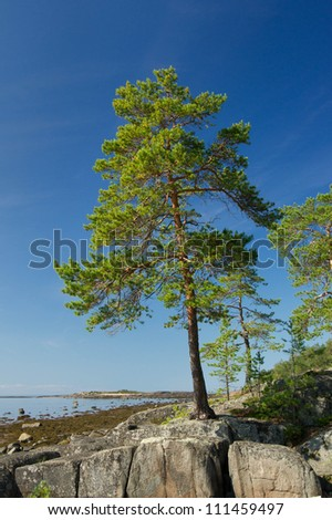 Pine tree on the Rock of Unpopulated Island