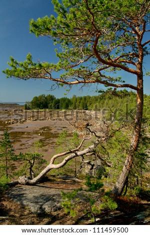 Pine tree on the Rock of Unpopulated Island
