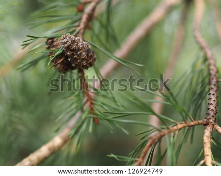 Pine tree pine cone and branches