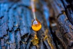 Pine tree resin drop (like yellow amber) on dark burnt bark background