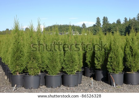Pine tree seedlings in an outdoor nursery in Oregon.