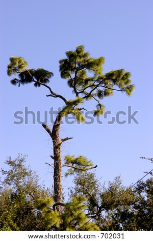 Pine tree survived the hurricane but greatly damaged