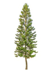 Pine tree tall isolated on white background.