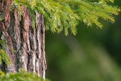 Pine tree trunk bark with spruce tree twigs in front of it. Coniferous forest texture background. Rough pine tree bark.