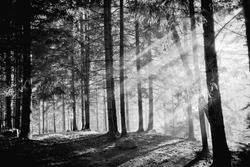 Pine tree with lights and fog,black and white photo