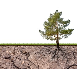 pine tree with root in soil isolated on white background