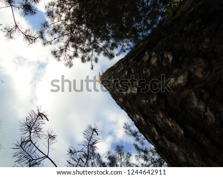 Pine tree with the top snapped off rising into the sky.