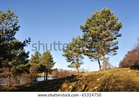 pine trees #65314750
