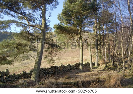 Pine trees and an old drystone wall in the Fintry Hills Scotland