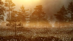 Pine trees and cotton grass. Misty spring morning at marsh in Tammela, Southern Finland.