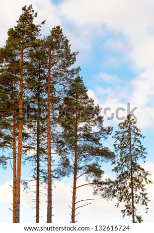 Pine trees and fir in the forest above cloudy sky