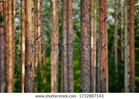 Pine trees and fir trees in spring Coniferous forest close up. Coniferous forest landscape in sunny day. Nature reserve. Evergreen Pine tree forest in sun light. Primeval Woodland. Spruce trees