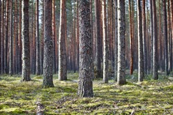 Pine trees and fir trees trunks in spring Coniferous forest close up. Coniferous forest landscape in sunny day. Nature reserve. Evergreen Pine tree forest in sun light. Primeval Woodland. Spruce trees