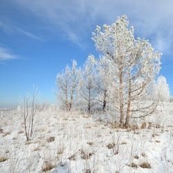 Pine trees covered with snow and rime in winter Russian countryside