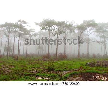 Pine trees forest in the rainy season. Phu Luang NP. ,Panoramic landscape view of spruce forest in the fog in the rainy weather