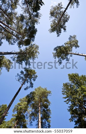 Pine trees from below against a blue sky #55037059