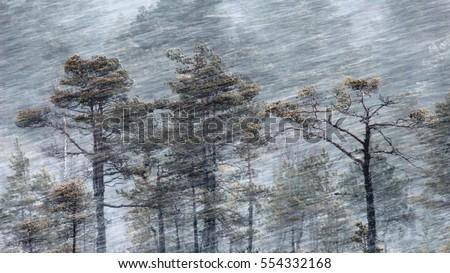 Pine trees in blizzard. Torronsuo national park, Tammela, Finland.