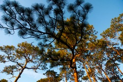 Pine trees in Fairhope, AL, USA, climb into the sky in an image taken on Nov. 1, 2020.