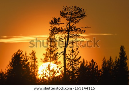 Pine trees in silhouette at sunset