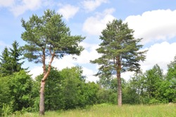 pine trees in the summer against a blue sky and clouds
