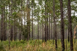Pine trees in the winter wilderness of Florida