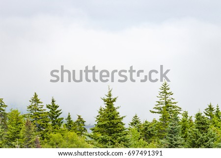 Pine trees on bottom edge of image standing before a foggy white landscape and cloudy sky, background with space for text. #697491391