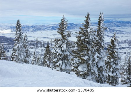 Pine trees with snow in Steamboat Springs, colorado, Usa