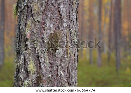 Pine trunk covered with moss in a pine forest. Texture, background