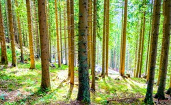 Pine trunks in a sunny pine forest. Pinewood trees in forest. Forest pines. Pine tree forest view